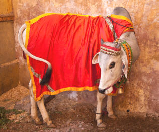 India's Sacred Cow